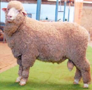 Poll Merino Recent Sire for Yanta: KAMORA PARK 304