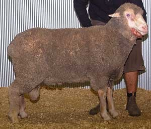 Poll Merino Recent Sire for Yanta: Leahcim 123265
