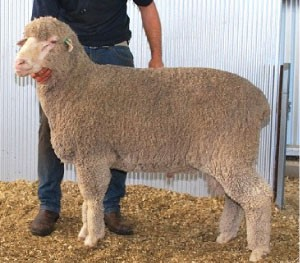 Poll Merino Recent Sire for Yanta: LEAHCIM 1452