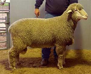 LEAHCIM 312: Used by 14 flocks in Sheep Genetics.