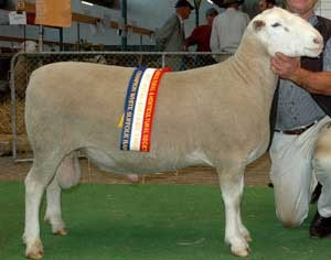 BUNDARA DOWNS 064398: An industry leading sire, used by 35 breeders. Champion ram Adelaide 2008.