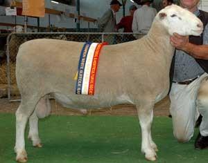 BUNDARA DOWNS 064398: An industry leading sire, used by 35 breeders. Champion ram Adelaide 2008.