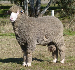 Poll Merino Recent Sire for Yanta: Wallaloo Park 904 (Casper)