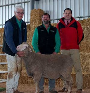 Top Priced Poll Merino Ram at Yanta Sheep Studs 2015 Sale