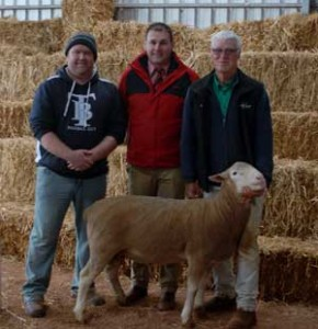 Top Priced Poll Suffolk Ram at Yanta Sheep Studs 2015 Sale